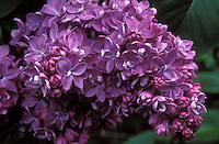 Lilac Bush Syringa Stock Photos