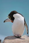 Rockhopper penguin wakes up from a nap.  Extra long yellow head feathers.