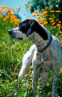 An alert Pointer bird dog in yellow flowers.