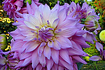 Flores. Dália ( Dahlia pinnata). UK. Foto de Manuel Lourenço.