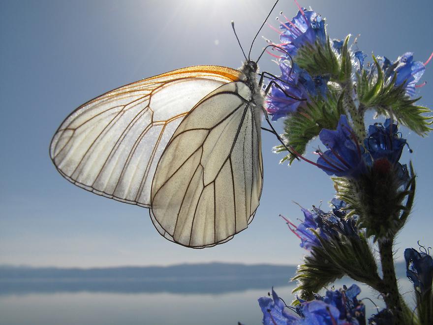 Black-veined White butterfly, Aporia crataegi, feeding on Viper&rsquo;s-Bugloss, Echium vulgare. <br /> Lagadin region. Lake Ohrid (693m).<br /> Galicica National Park, Macedonia, June 2009<br /> Mission: Macedonia, Lake Macro Prespa /  Lake Ohrid, Transnational Park<br /> David Maitland / Wild Wonders of Europe
