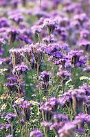 Phazelie, Phacelie, Büschelschön, Anbau auf Feld, Acker, Rainfarn-Büschelschön, Rainfarn-Phazelie, Bienenfreund, Phacelia tanacetifolia, Bluebell, Lacy phacelia, Gründüngung