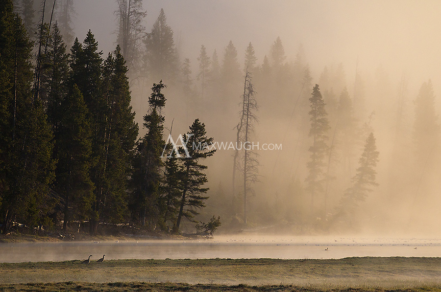 The Yellowstone River hosts different species of waterfowl on cold and misty spring mornings in Hayden Valley.