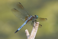 Blue Dasher (Pachydiplax longipennis) Dragonfly - Male, Rockefeller State Park Preserve, Potanico Hills, Westchester County, New York