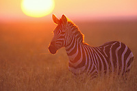 3MB548  Burchell's Zebra or Plains Zebra at sunrise on the Serengeti Plains of Tanzania.  May.