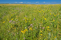 WIldflowers in Fescue prairie<br />