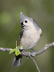 Tufted Titmouse Striking A Curious Pose, Parus bicolor