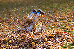 A child plays in fall leaves in Genoa, Nev., on Oct. 26, 2009..Photo by Cathleen Allison