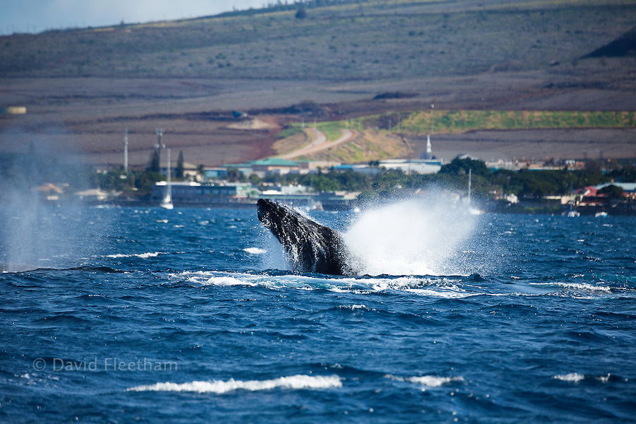 A humpback whale, Megaptera novaeangliae, lunges from the ocean off Lahaina Town on the island of Maui, Hawaii.