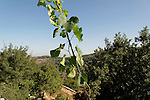 Israel, Jerusalem mountains. Grapevine at the Binlical Garden in Yad Hashmona