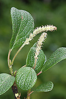 Net-leaved Willow Salix reticulata (Salicaceae) HEIGHT to 10cm. Mat-forming undershrub with distinctive leaves. SHOOTS Smooth and reddish brown when mature. LEAVES Ovate, to 5cm long and untoothed; dark green above but whitish below with prominent, netted veins. REPRODUCTIVE PARTS Catkins, males with reddish stamens. STATUS AND DISTRIBUTION Rare in Scottish Highlands.