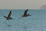Brown Pelicans Hunting at Sunrise, Sanibel Island, Florida