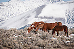 Wild mustangs on the range in winter, Elko County, Nev.
