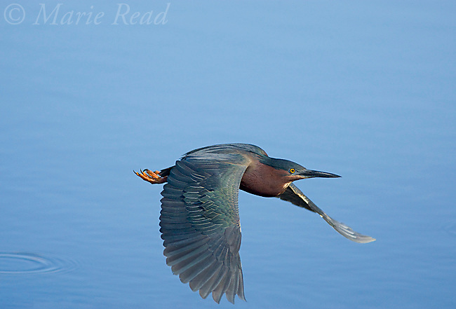 Green Heron (Butorides virescens), in flight, Orlando, Florida, USA