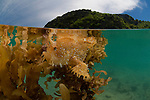 A sargassum frogfish or angerfish (Histrio histrio) in its floating sargassum home split level with El Nido's Miniloc Island.