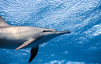 spinner dolphins at the surface, shaab samadai, red sea, egypt, Stenella longirostris
