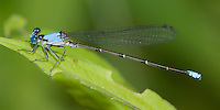 Blue-fronted Dancer (Argia apicalis) Damselfly - Male, Silver Lake Preserve, West Harrison, Westchester County, New York