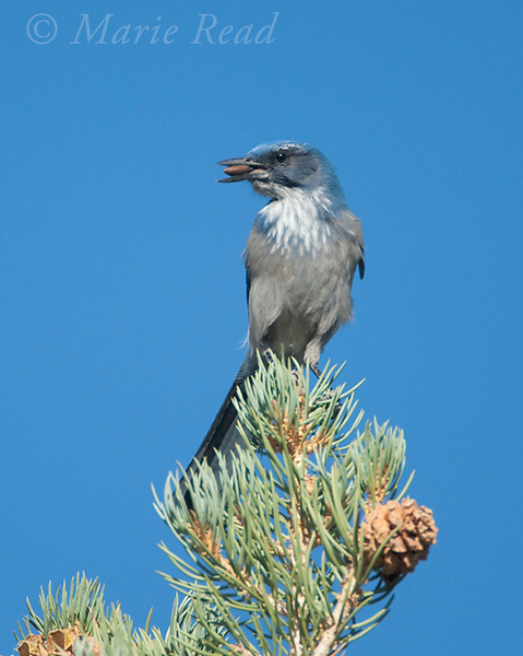 Western Scrub-jay (Aphelocoma californica), with beakful of Pinyon PIne seeds, Mono Lake Basin, California, USA