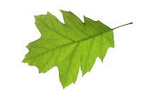 Roteiche, Rot-Eiche, Amerikanische Spitzeiche, Quercus rubra, Quercus borealis, northern red oak, champion oak, red oak, Le chêne rouge d'Amérique, Blatt, Blätter, leaf, leaves
