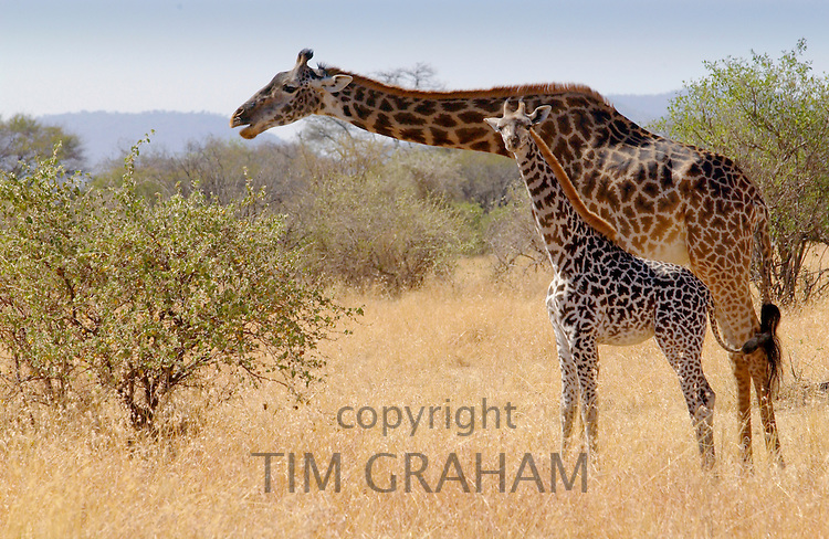 Adult giraffe and calf feeding in Grumeti, Tanzania