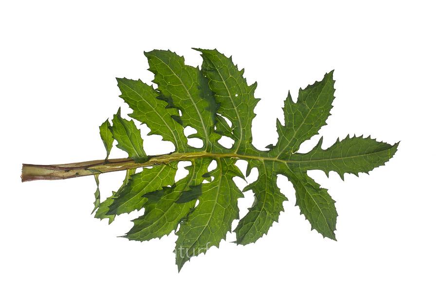Kohl-Kratzdistel, Kohl-Kratz-Distel, Kohlkratzdistel, Kratzdistel, Distel, Cirsium oleraceum, Cabbage Thistle. Blatt, Blätter, leaf, leaves