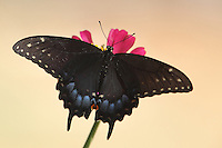 This swallowtail rests on a single zinnia, blooming on our beloved pet Daisy's grave. She's been gone a little over a year now.<br />