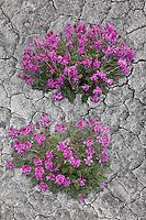 Dwart Fireweed flowers, Alaska