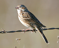 Adult vesper sparrow on barbed wire fence