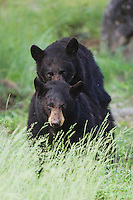 Black Bear (Ursus americanus), pair mating, Yellowstone National Park, Wyoming, USA