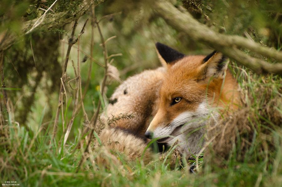 Captive Resting Fox {Vulpes vulpes} at the British Wildlife Centre