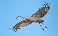 Sandhill Crane coming in for a landing with wings outstretched