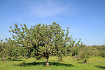 Israel, Shephelah, Carob tree in Masua forest