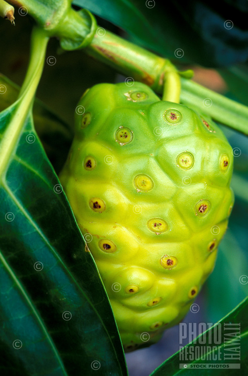 Noni fruit, a native Hawaiian medicinal plant.