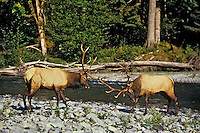 Roosevelt elk bulls sparring, Olympic N.P., Washington, September