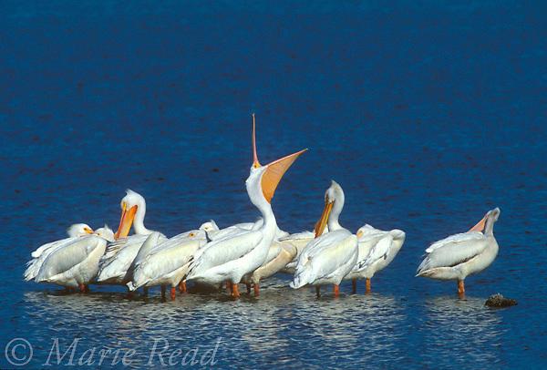 American White Pelicans (Pelecanus erythrorhynchos), flock in non-breeding plumage, one yawning, St. Marks National Wildlife Refuge, Florida, USA.<br /> Slide # B12-316