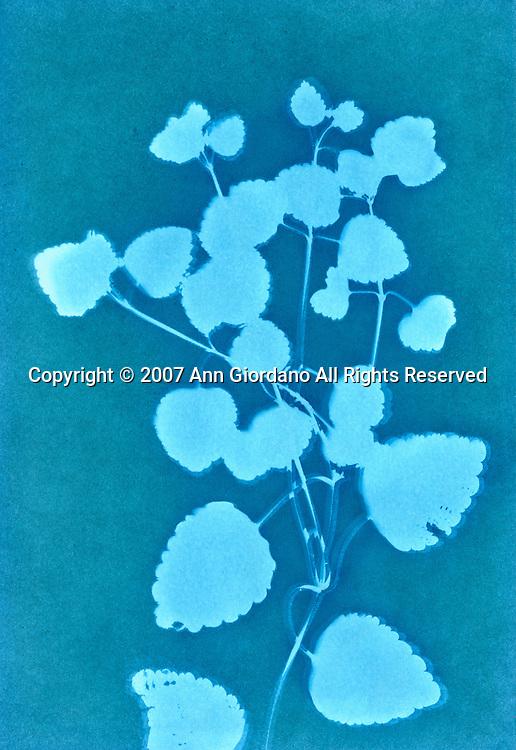 Cyanotype print of Silver Lace Vine