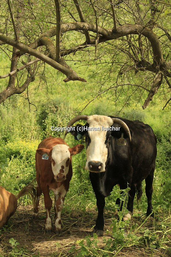 Israel, Lower Galilee, cows in Ein Rekhesh