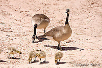 0224-1201  Canadian Gosling Foraging for Food (Canada Goose, Canadian Goose), Branta canadensis  © David Kuhn/Dwight Kuhn Photography