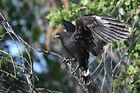 Common Black Hawk landing on limb, Big Bend National Park