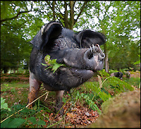 BNPS.co.uk (01202 558833)<br /> Pic: PhilYeomans/BNPS<br /> <br /> The autumn pannage season has started in the New Forest in Hampshire - Forest commoners are allowed by ancient right to turn out their pigs in to the 900 year old woods.<br /> <br /> The lucky pigs eat up the acorns that could be harmful to the famous ponies, and fatten themselves up for the Christmas market.<br /> <br /> This Saddleback cross Tamworth sow is out in the forest with her 5 piglets and some curious ponies.