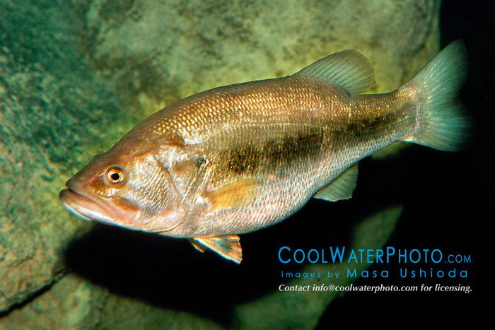 largemouth bass (c), .Micropterus salmoides, .Florida.