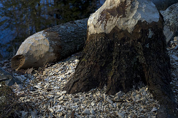 Maple, tree, acer, cut, felled by American, beaver, Castor canadensis, rodent, damage