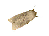 Large Wainscot - Rhizedra lutosa
