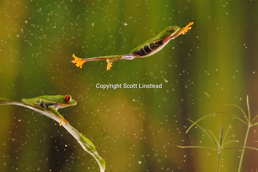 A red-eyed tree frog jumps from one leaf to another in the rainforest.  (composite image)