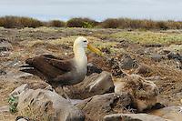 Galapagos Albatross (Diomedea irrorata), adult feeding young, Espanola Island, Galapagos, Ecuador, South America