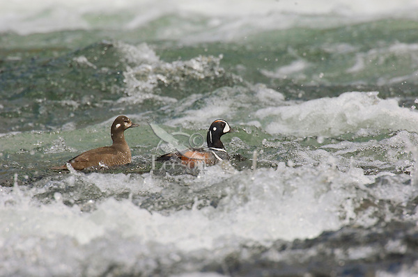 Harlequin Duck pair (Histrionicus histrionicus) on fast flowing mountain stream.  Western U.S.  Spring.
