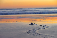 Leatherback sea turtle hatchling heading to sea.