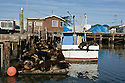 California Sea Lions take over a dock in Moss Landing and spill over onto a fishing boat tied up next door.