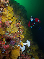TA0897-Dr. scuba diver (model released) alongside wall overgrown with yellow Sulphur Sponge (Myxilla lacunosa) and Strawberry Sea Anemones (Corynactis californica). British Columbia, Canada, Pacific Ocean. <br /> Photo Copyright &copy; Brandon Cole. All rights reserved worldwide.  www.brandoncole.com