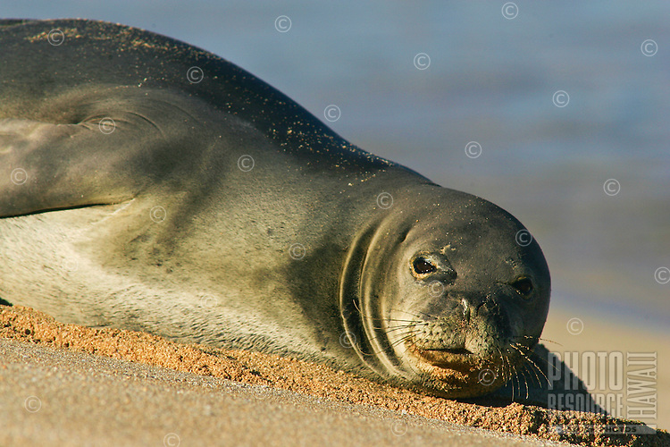 Endangered Hawaiian Monk Seal appeared early one morning to rest after looking for food the night before.